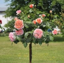Роза Chippendale на штамбе
