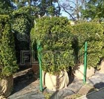 Тис ягодный Overeynderi куб 80х80х130 живая изгородь акция