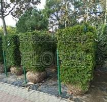 Тис ягодный куб 90х70х130 живая изгородь СКИДКА -40%