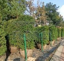 Тис ягодный куб 90х70х160 живая изгородь Акция