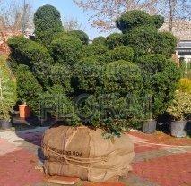 Тис  Brevifolia многоствольный. Высота 150/175 см. Германия
