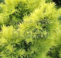 Тис cuspidata Aurescens C3