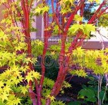 Клен пальмолистный (palmatum) Sangokaku 150/175 см