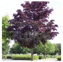 Клен остролистный (platanoides) Сrimson King. Обхват ствола 8-10 см