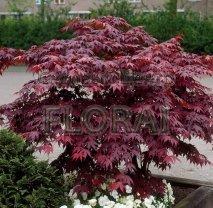 Клен пальмолистный (palmatum) Bloodgood Extra. Высота 1-1,25 м С18