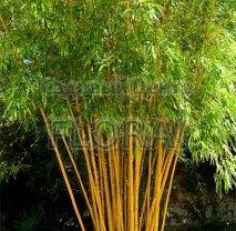 Бамбук Phyllostachys Aureocaulis 175-200 см