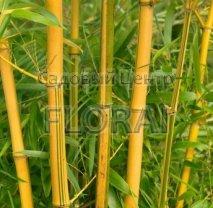 Бамбук Phyllostachys Aureocaulis 200/250 см Extra