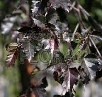 Береза плакучая Purpurea. Высота 100+ см, С5