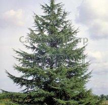 Кедр Атласский, высота  150/175 см