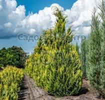 Кипарисовик Лавсона Alumigold, высота 150-175 см