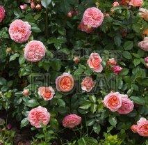 Роза плетистая Chippendale