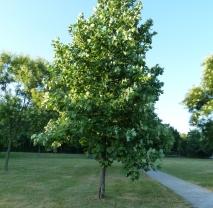 Лириодендрон (Тюльпановое Дерево). Обхват ствола 25-30 см, C130