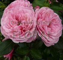 Роза Starlet Rose Eva на высоком штамбе 3/4St
