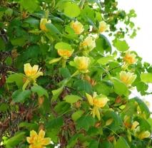 Лириодендрон (Тюльпановое Дерево). Обхват ствола  10/12 см
