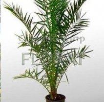 Финик пальчатый - Пальма Phoenix dactylifera C30. Высота с вазоном 150 см