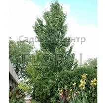 Гинкго билоба fastigiata feronia 200/250 см