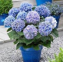 Гортензия macrophylla голубая С25