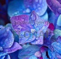 Гортензия крупнолистная / макрофилла голубая (Blue) 30/40 P19