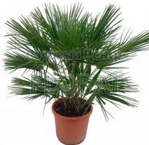Пальма Хамеропс Excelsa / Trachycarpus fortunei  многоствольный