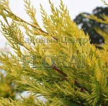Купрессоципарис Лейланда Gold Rider 125/150 см