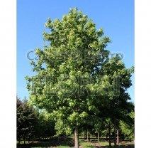 Ликвидамбар смолоносный (Амбровое дерево), обхват ствола 16-18 см