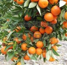 Цитрус mandarine 1/4St