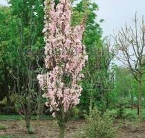 Сакура мелкопильчатая Amanogawa. Высота 1,5-1,75 м