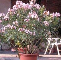 Олеандр розовый. Высота 130/150 см