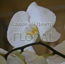 Фаленопсис Grandi 100 см/Р15