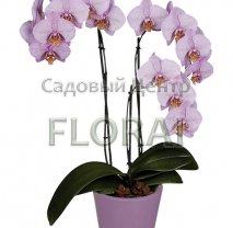 Фаленопсис 2 цветоноса 75 см/Р12