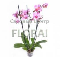 Фаленопсис 3 цветоноса 70 см Р13