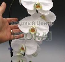 Фаленопсис белый крупноцветковый Grandi 100 см Р15
