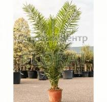 Пальма финиковая канарская. Высота 160-180 см. С30