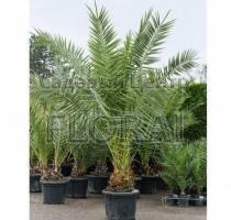 Пальма финиковая канарская. Высота 250-300см. С70