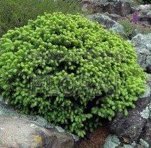 Ель канадская Echiniformis, высота 40-50 см, С20