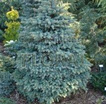 Ель колючая голубая (pungens Glauca), высота 80-100 см, С20