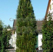 Сосна uncinata Pyramidalis. Высота 40/50 см