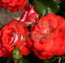 Роза кустовая Planten un Blomen, в контейнере