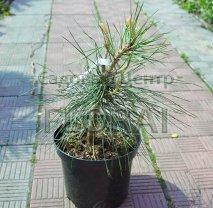 Сосна ponderosa. Высота 40/60 см