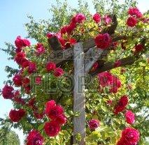 Роза плетистая (rampicanti). Высота 200+ см, конт. C5