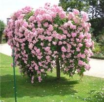 Розы на штамбе в ассортименте