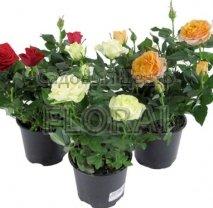 Роза комнатная 30 см/Р12