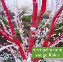 Клен пальмолистный  (Acer palmatum) Sangokaku. Высота 1-1,25 м. С12