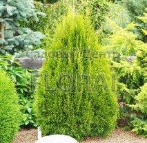 Туя западная Smaragd Шар 80-100 см