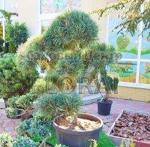 Сосна  обыкновенная (Pinus sylvestris) Glauca Pompon.  СКИДКА -70%!