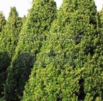 Тис ягодный (baccata). Конус. Высота 225-250 см