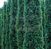 Тис ягодный (baccata) Fastigiata. Высота 100/120 см