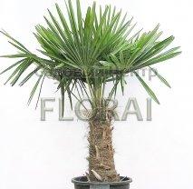 Пальма Трахикарпус fortunei (Chamaereops Еxcelsa) Ствол 1,9 м, высота с вазоном 280 см