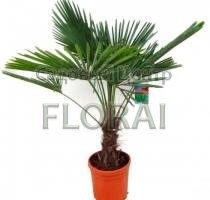 Пальма Трахикарпус fortunei. С1. Высота 30 см