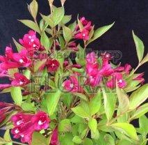 Вейгела цветущая Evita